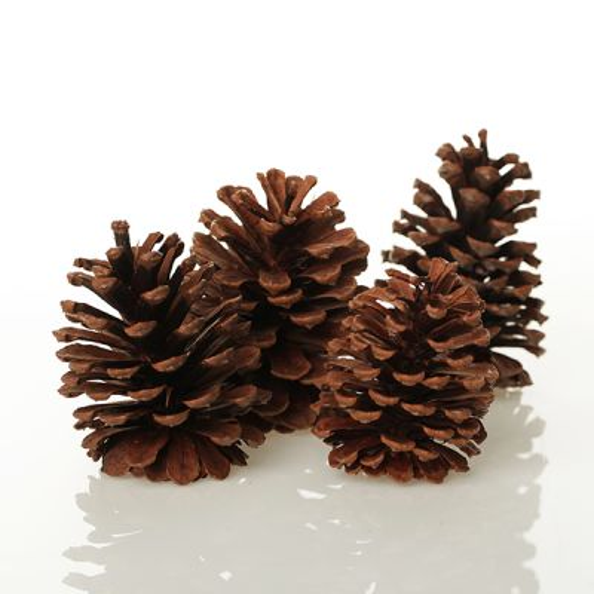 Medium Natural Real Pinecones - Pack of 4